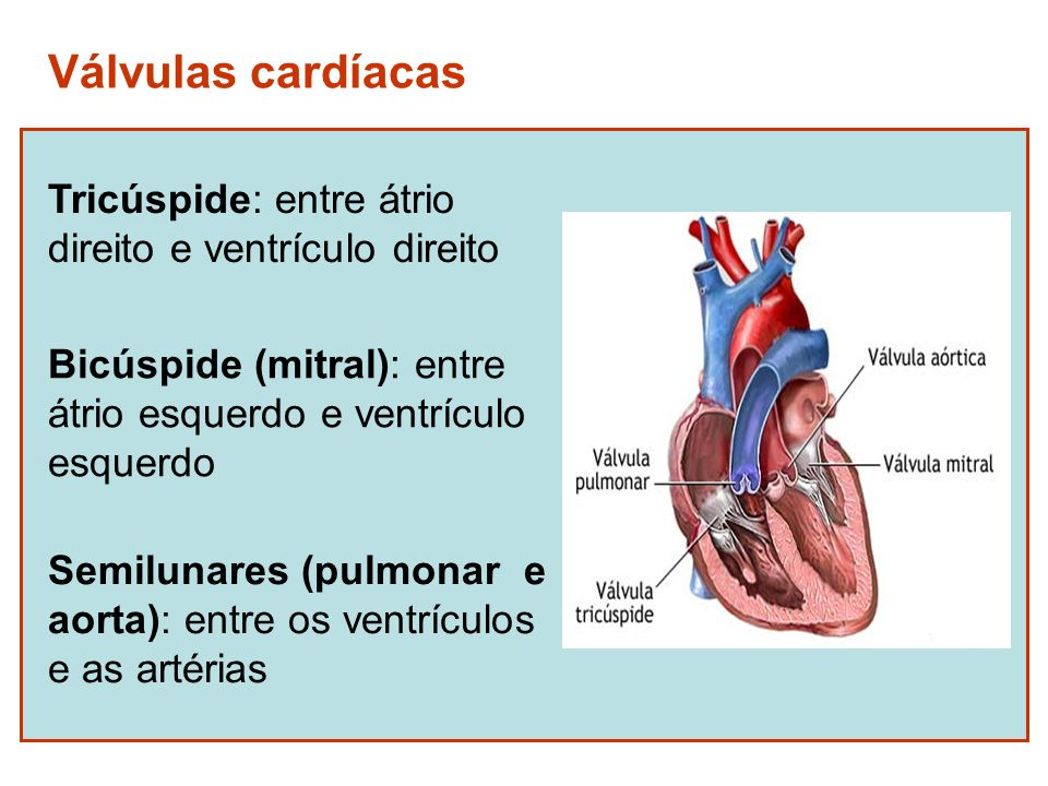 Válvulas cardíacas Tricúspide: entre átrio