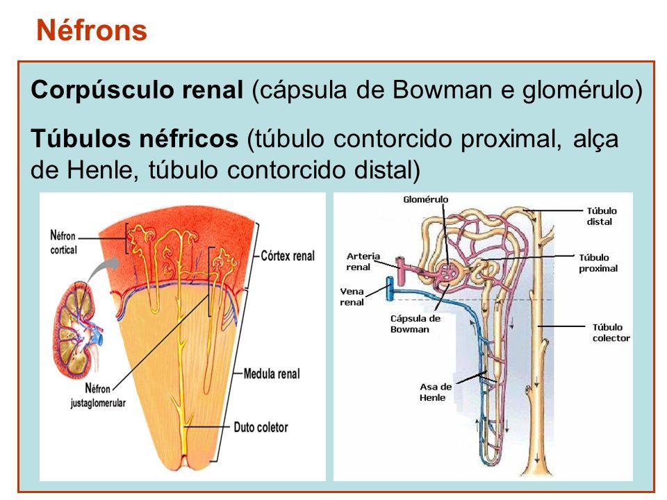 Néfrons Corpúsculo renal (cápsula de Bowman e glomérulo)