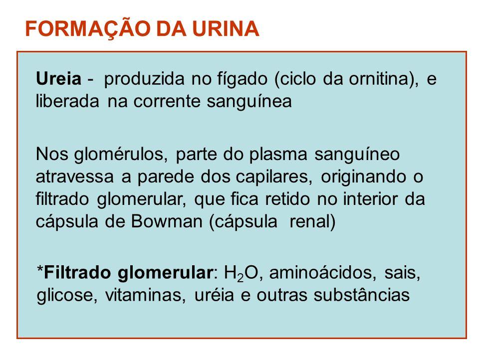 FORMAÇÃO DA URINA Ureia - produzida no fígado (ciclo da ornitina), e