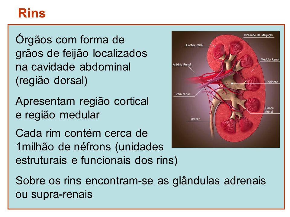 Rins Órgãos com forma de grãos de feijão localizados
