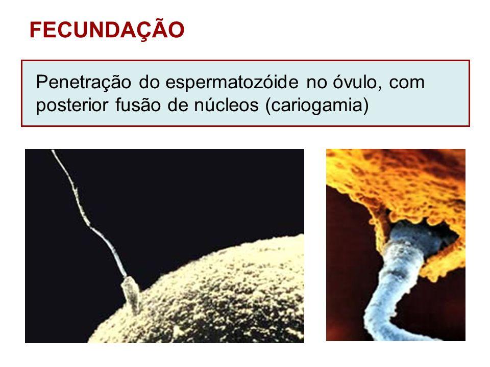 FECUNDAÇÃO Penetração do espermatozóide no óvulo, com