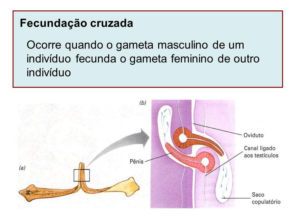 Fecundação cruzada Ocorre quando o gameta masculino de um. indivíduo fecunda o gameta feminino de outro.