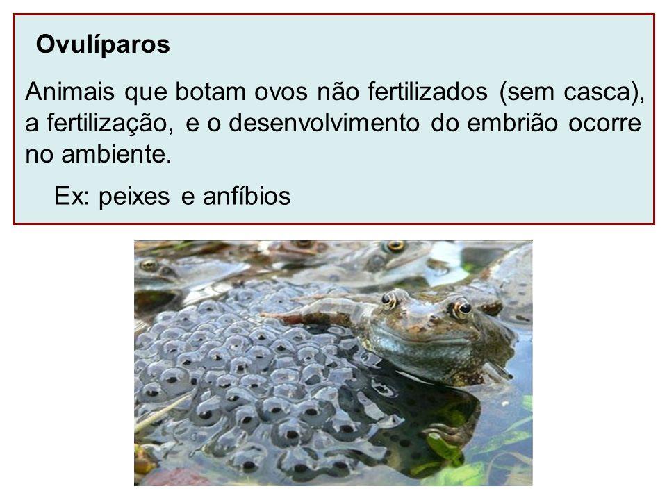 Ovulíparos Animais que botam ovos não fertilizados (sem casca), a fertilização, e o desenvolvimento do embrião ocorre.