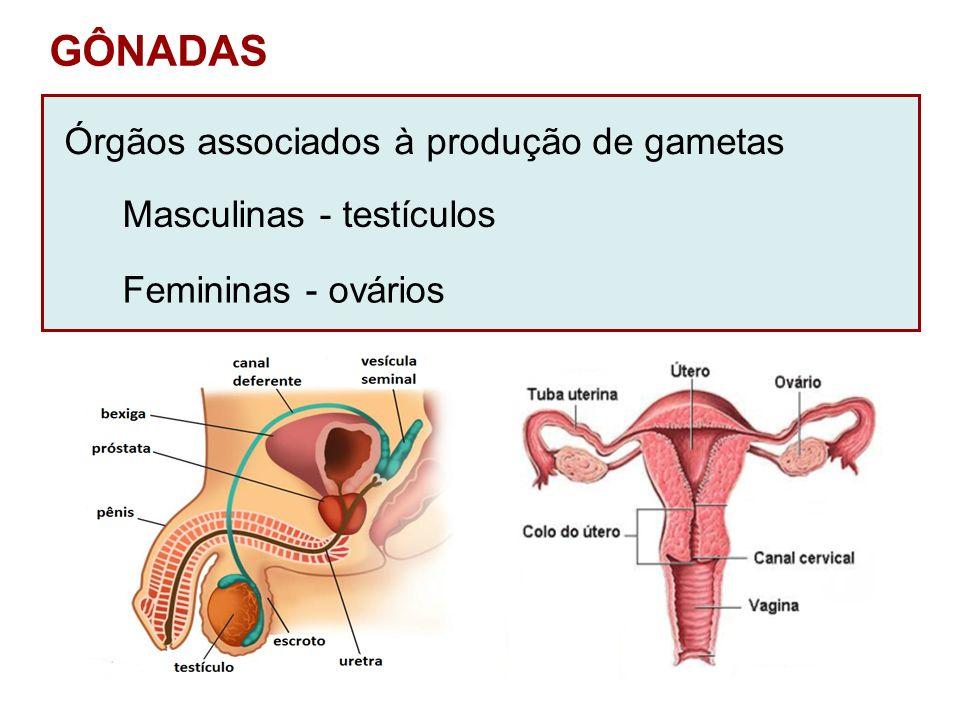 GÔNADAS Órgãos associados à produção de gametas