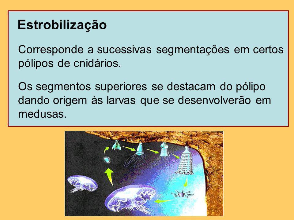 Estrobilização Corresponde a sucessivas segmentações em certos