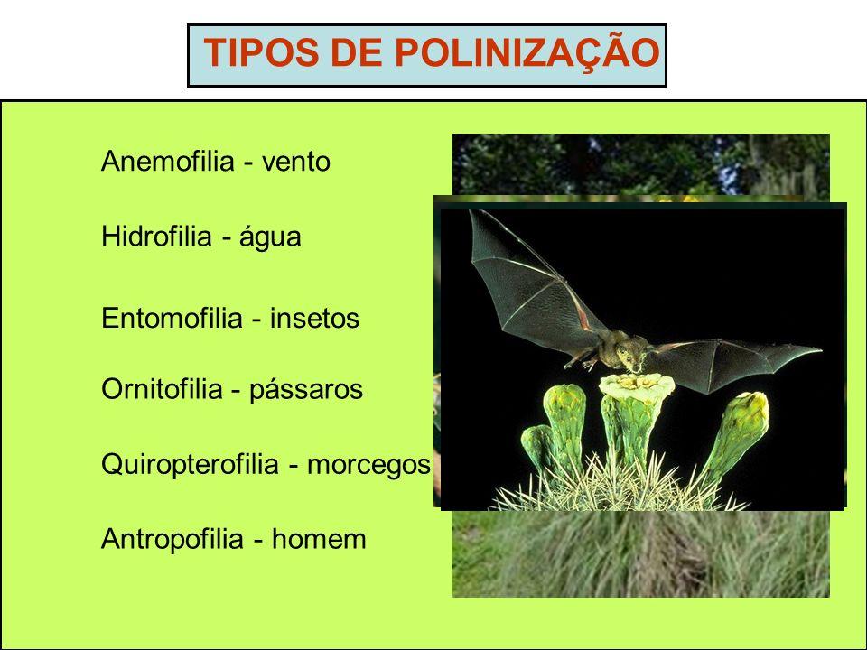 TIPOS DE POLINIZAÇÃO Anemofilia - vento Hidrofilia - água