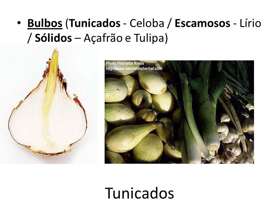 Bulbos (Tunicados - Celoba / Escamosos - Lírio / Sólidos – Açafrão e Tulipa)