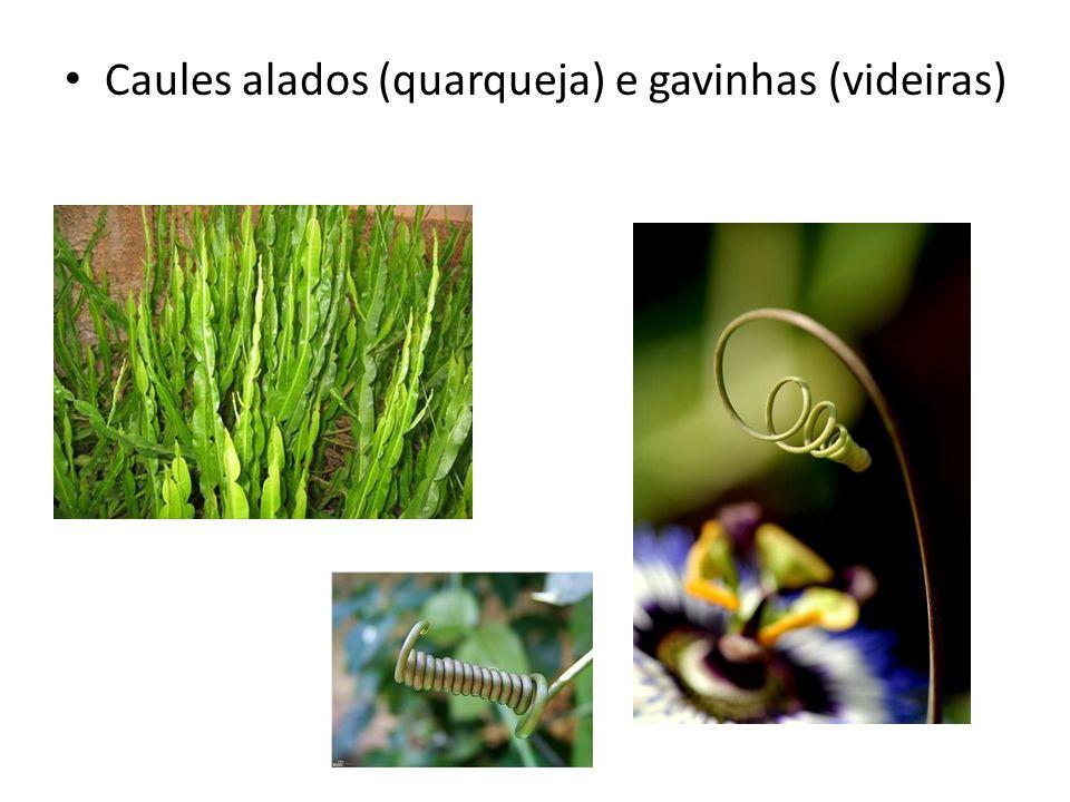 Caules alados (quarqueja) e gavinhas (videiras)