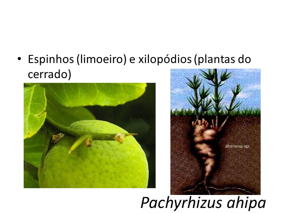 Espinhos (limoeiro) e xilopódios (plantas do cerrado)