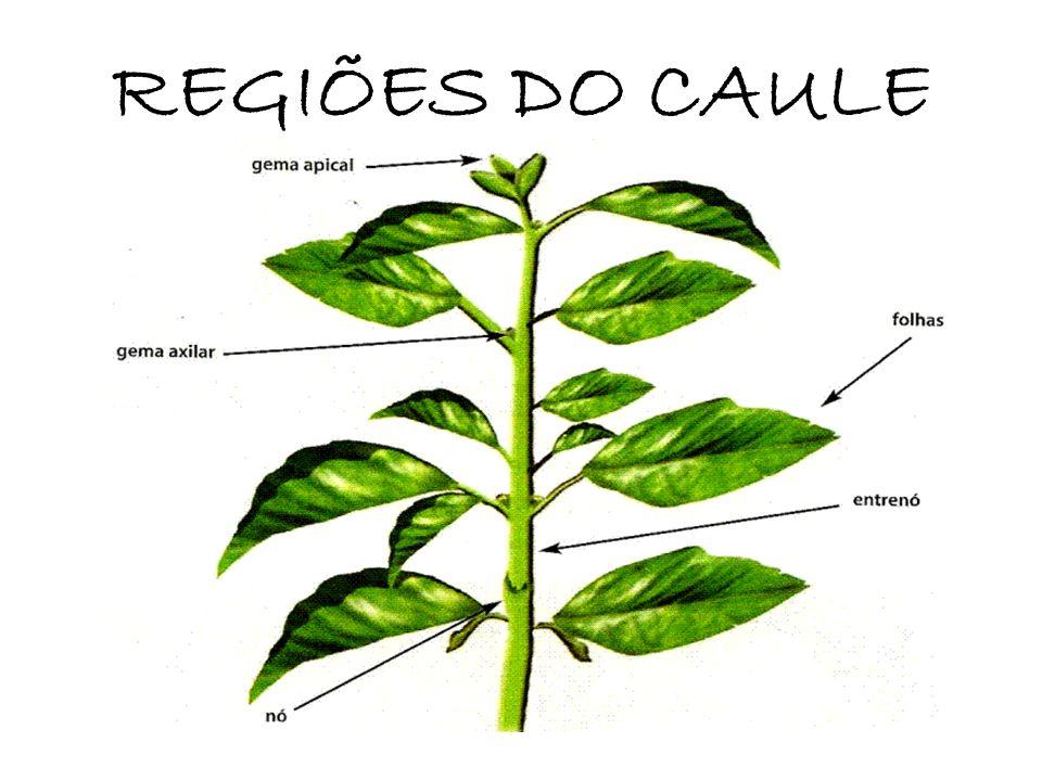 REGIÕES DO CAULE