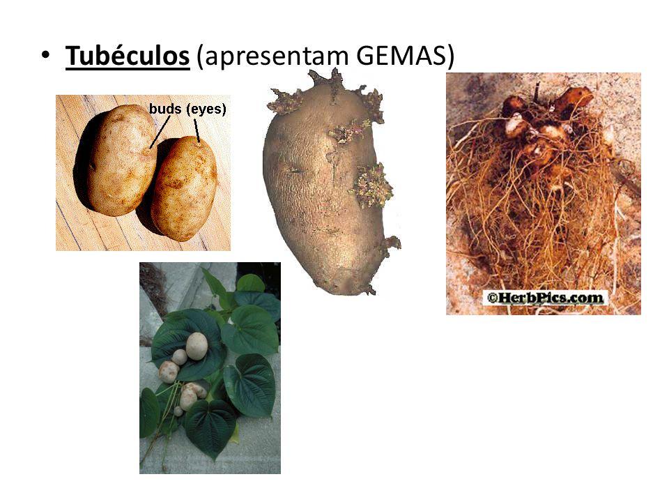 Tubéculos (apresentam GEMAS)