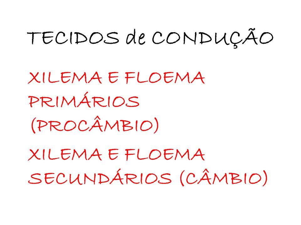 TECIDOS de CONDUÇÃO XILEMA E FLOEMA PRIMÁRIOS (PROCÂMBIO)