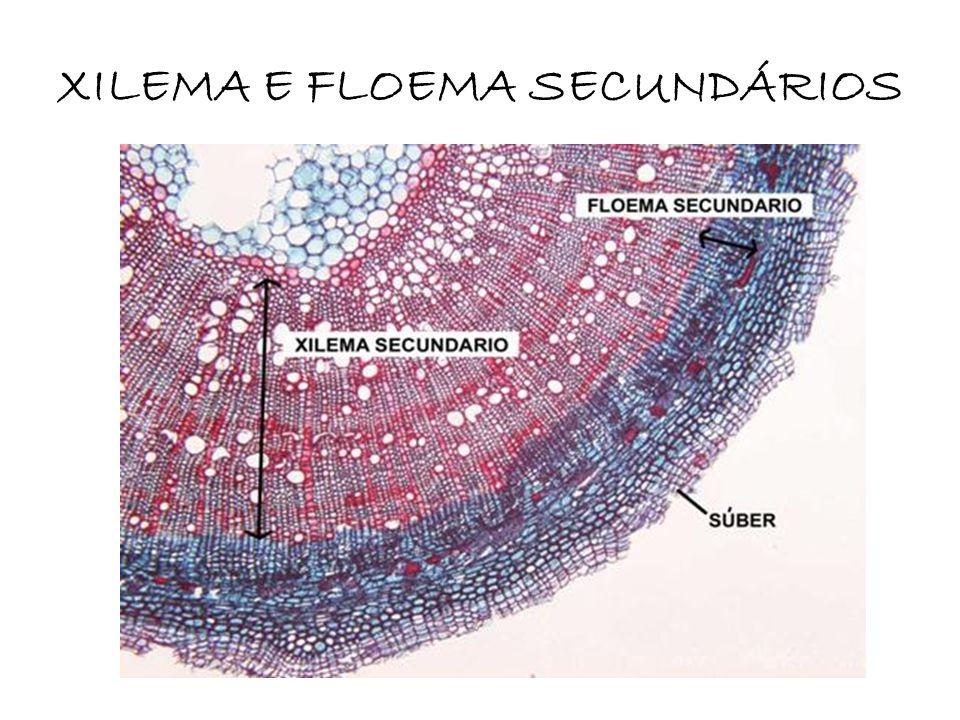 XILEMA E FLOEMA SECUNDÁRIOS
