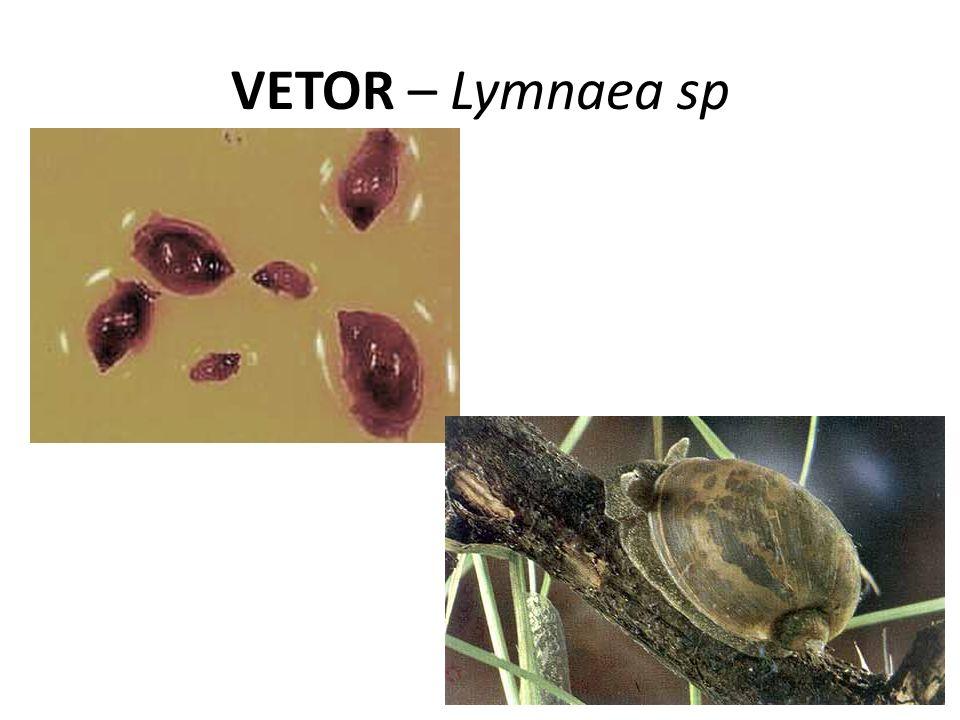 VETOR – Lymnaea sp