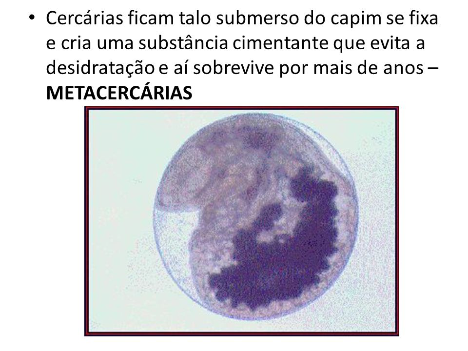 Cercárias ficam talo submerso do capim se fixa e cria uma substância cimentante que evita a desidratação e aí sobrevive por mais de anos – METACERCÁRIAS