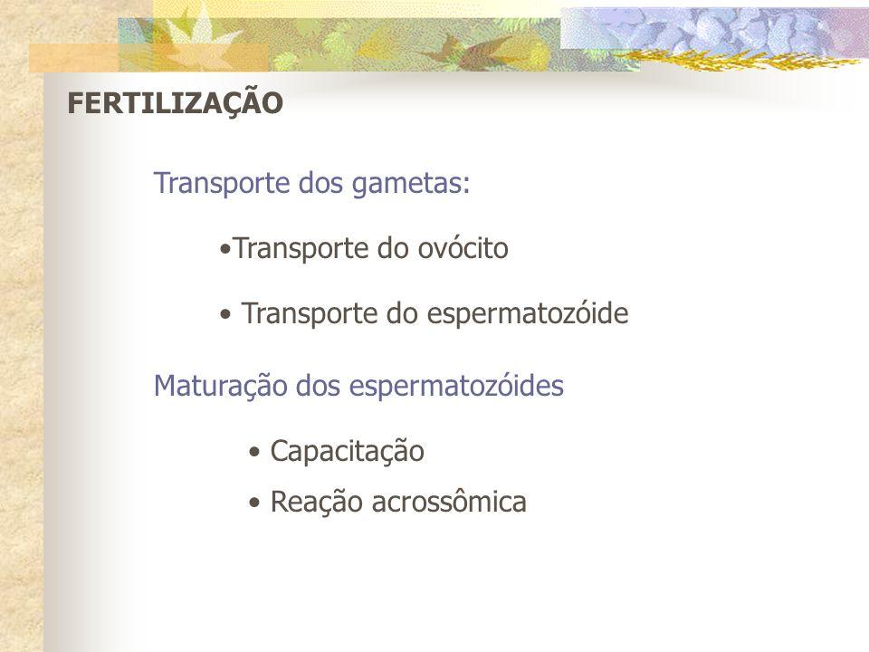 FERTILIZAÇÃO Transporte dos gametas: Transporte do ovócito. Transporte do espermatozóide. Maturação dos espermatozóides.