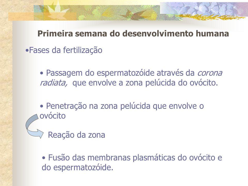 Primeira semana do desenvolvimento humana