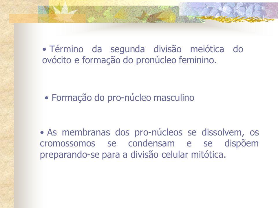Término da segunda divisão meiótica do ovócito e formação do pronúcleo feminino.
