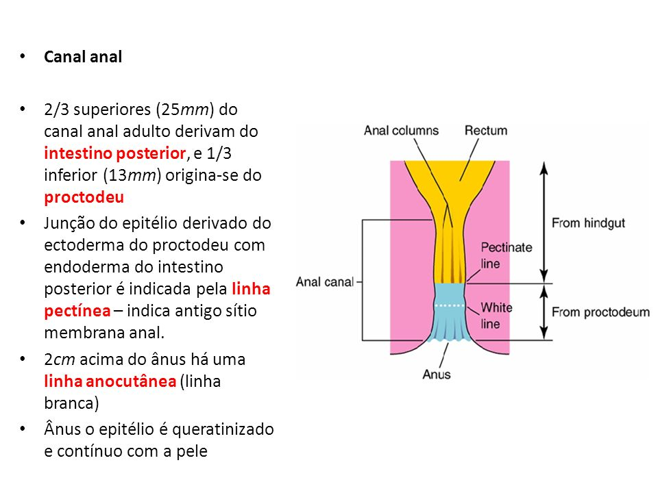 Canal anal 2/3 superiores (25mm) do canal anal adulto derivam do intestino posterior, e 1/3 inferior (13mm) origina-se do proctodeu.