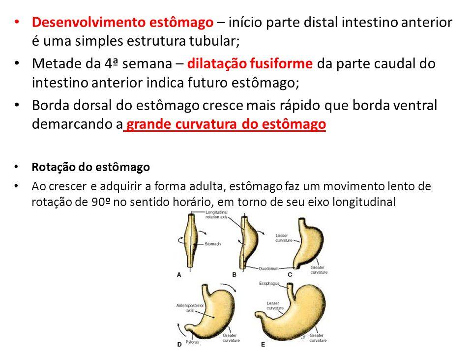 Desenvolvimento estômago – início parte distal intestino anterior é uma simples estrutura tubular;