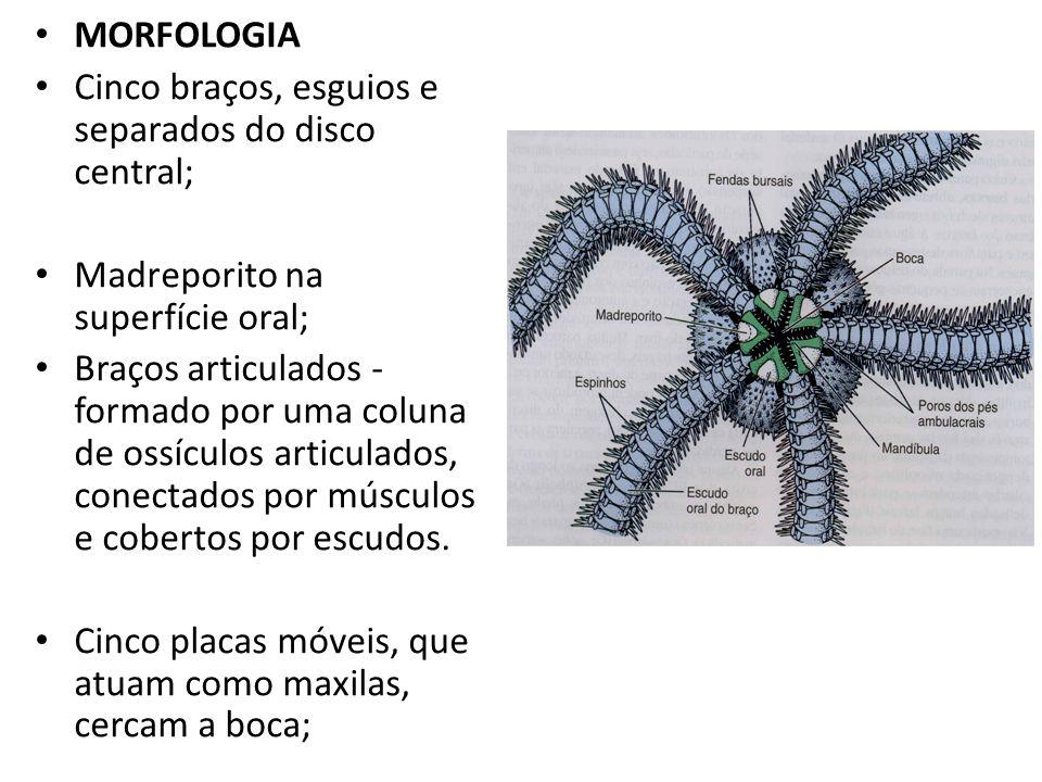 MORFOLOGIACinco braços, esguios e separados do disco central; Madreporito na superfície oral;