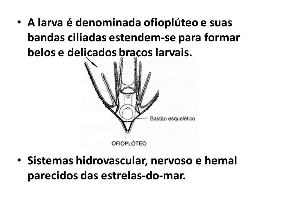 A larva é denominada ofioplúteo e suas bandas ciliadas estendem-se para formar belos e delicados braços larvais.