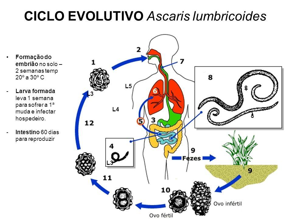 CICLO EVOLUTIVO Ascaris lumbricoides
