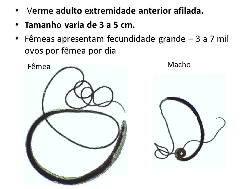 Verme adulto extremidade anterior afilada. Tamanho varia de 3 a 5 cm.