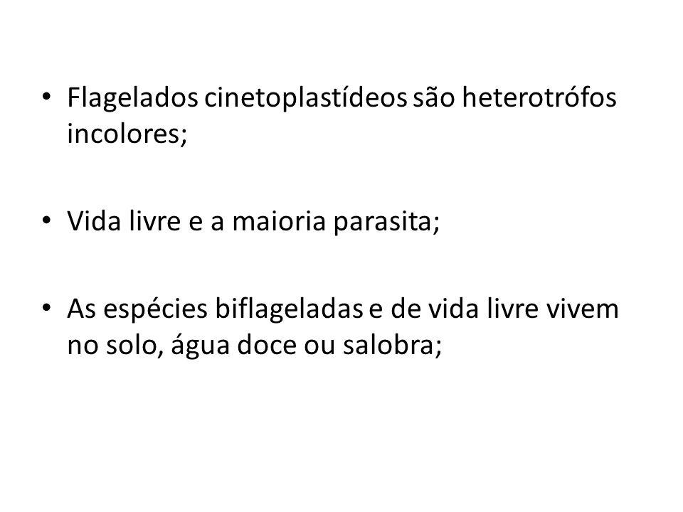Flagelados cinetoplastídeos são heterotrófos incolores;