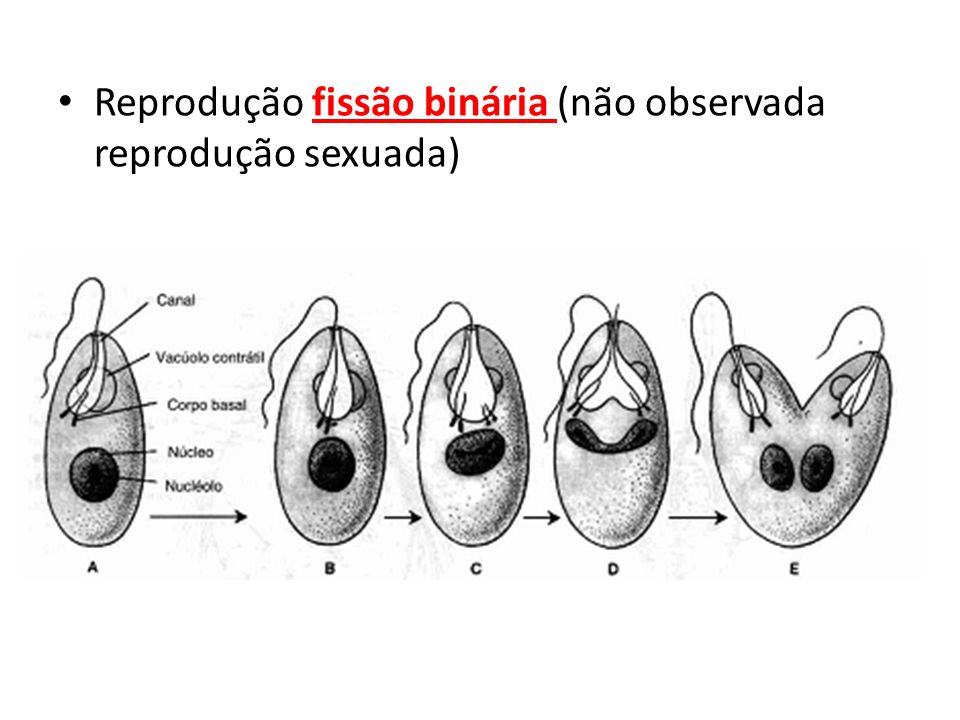 Reprodução fissão binária (não observada reprodução sexuada)