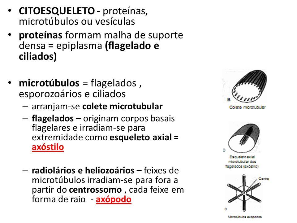 CITOESQUELETO - proteínas, microtúbulos ou vesículas