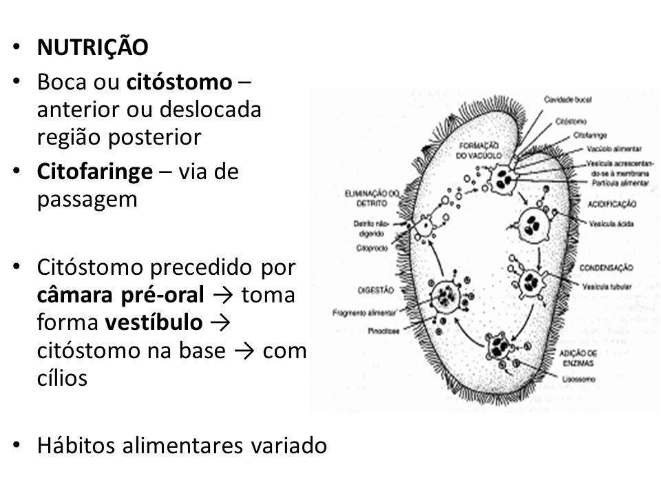 NUTRIÇÃO Boca ou citóstomo – anterior ou deslocada região posterior. Citofaringe – via de passagem.