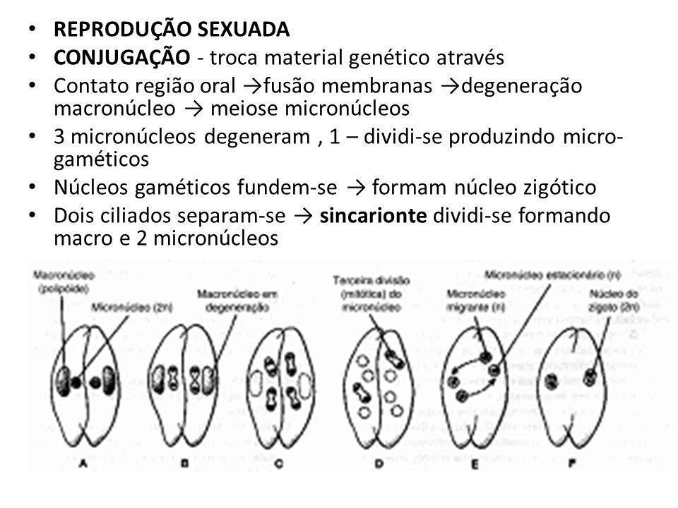 REPRODUÇÃO SEXUADA CONJUGAÇÃO - troca material genético através. Contato região oral →fusão membranas →degeneração macronúcleo → meiose micronúcleos.