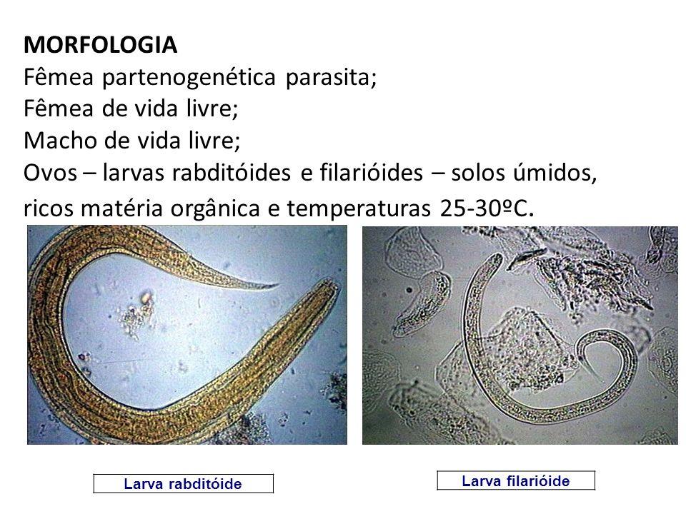 MORFOLOGIA Fêmea partenogenética parasita; Fêmea de vida livre; Macho de vida livre; Ovos – larvas rabditóides e filarióides – solos úmidos, ricos matéria orgânica e temperaturas 25-30ºC.