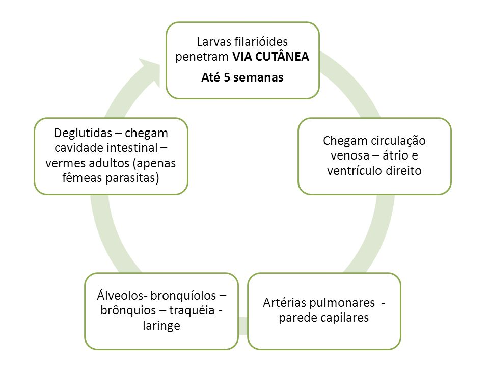 Larvas filarióides penetram VIA CUTÂNEA Até 5 semanas