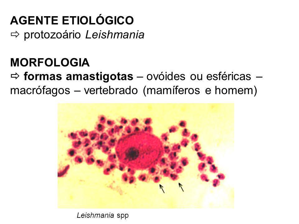  protozoário Leishmania MORFOLOGIA