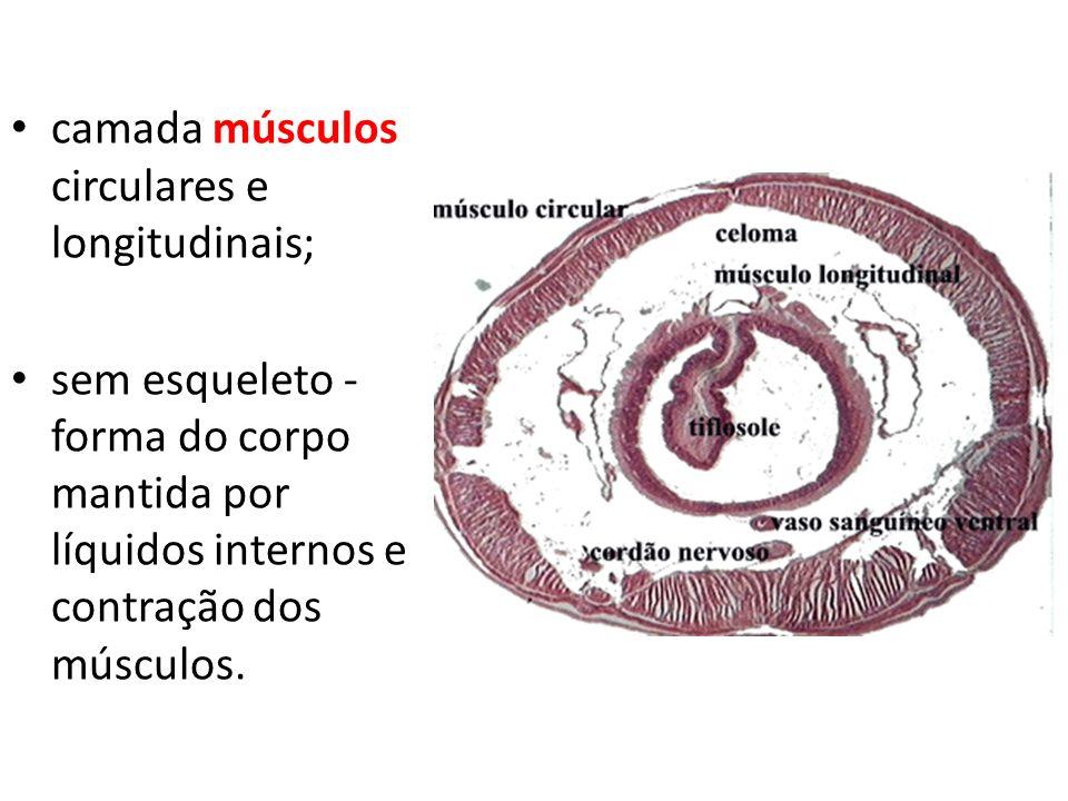 camada músculos circulares e longitudinais;
