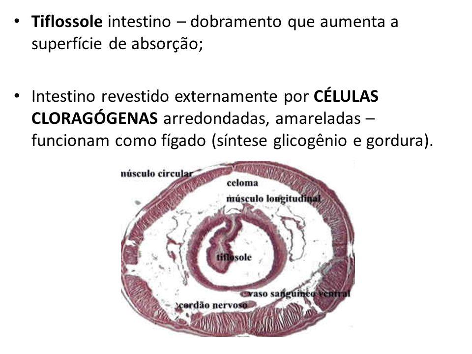 Tiflossole intestino – dobramento que aumenta a superfície de absorção;