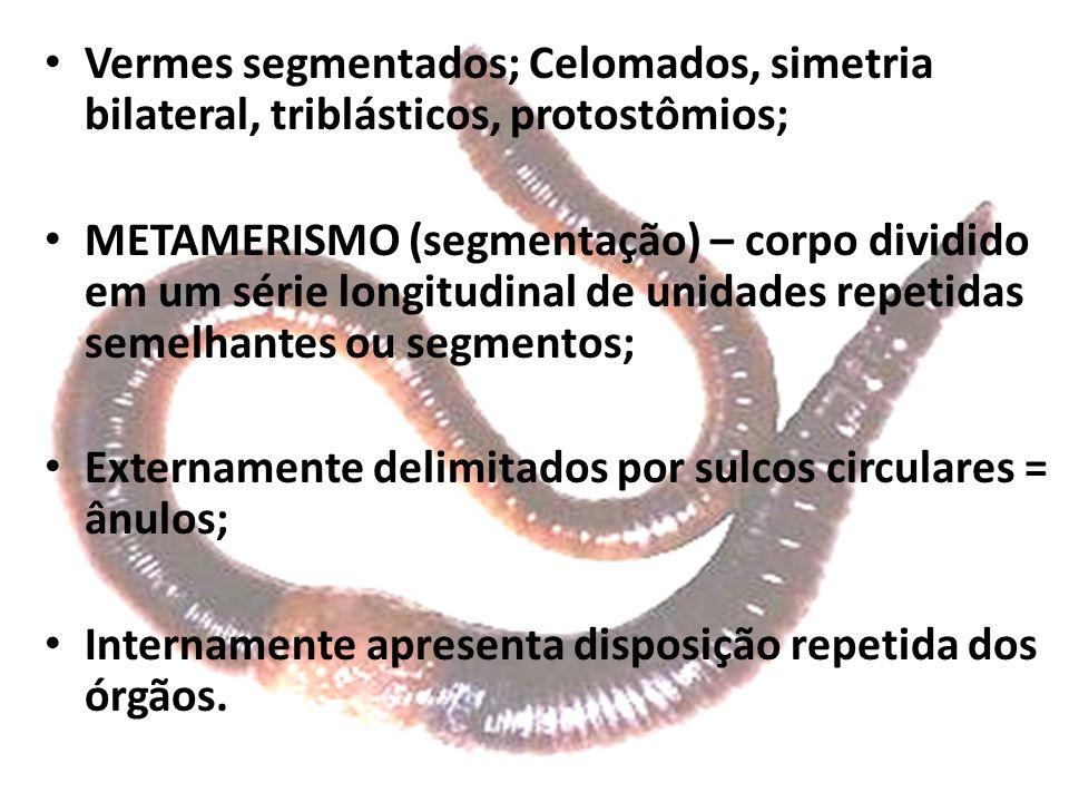 Vermes segmentados; Celomados, simetria bilateral, triblásticos, protostômios;