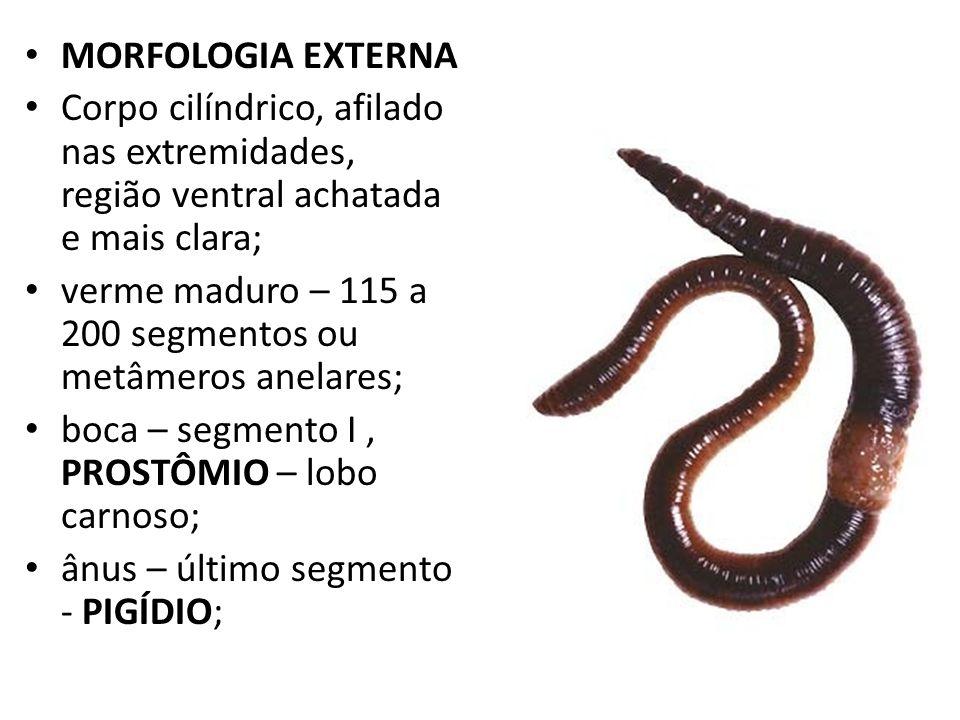 MORFOLOGIA EXTERNA Corpo cilíndrico, afilado nas extremidades, região ventral achatada e mais clara;