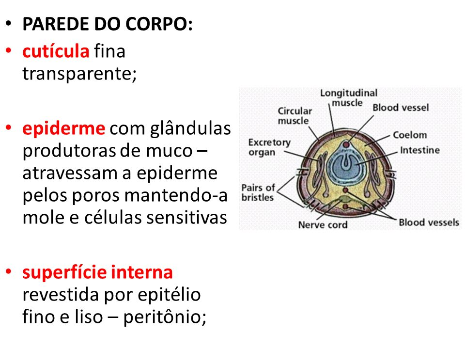 PAREDE DO CORPO: cutícula fina transparente;