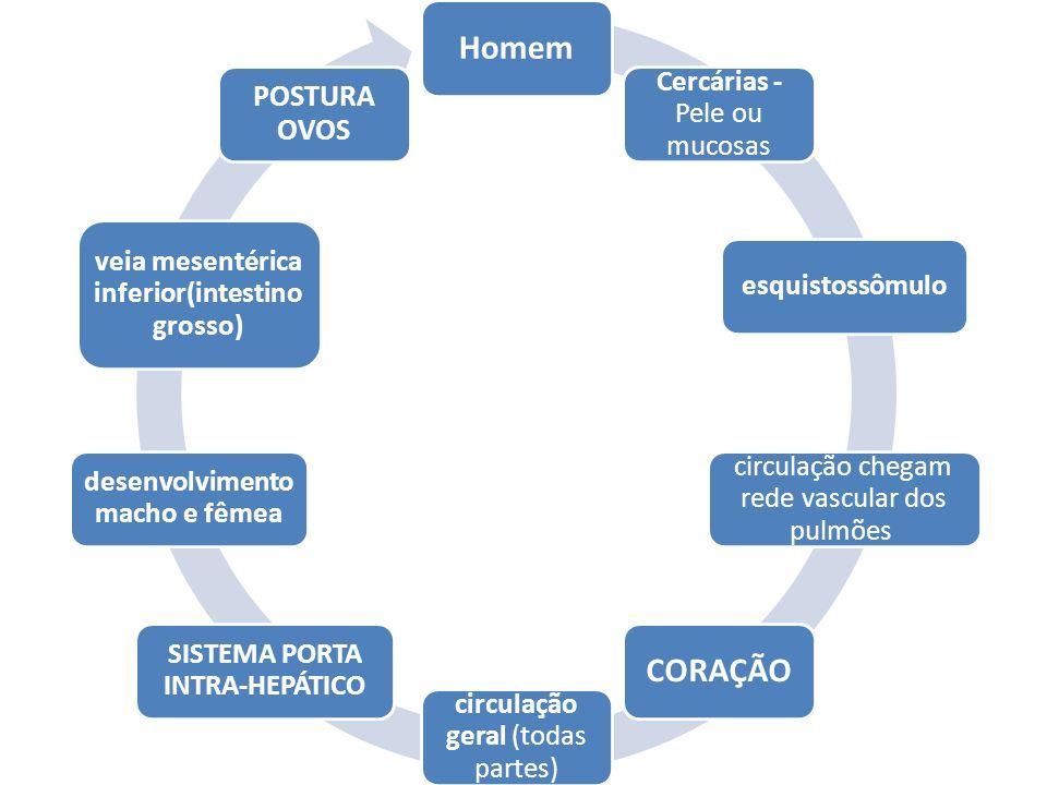 Homem CORAÇÃO Cercárias - Pele ou mucosas esquistossômulo