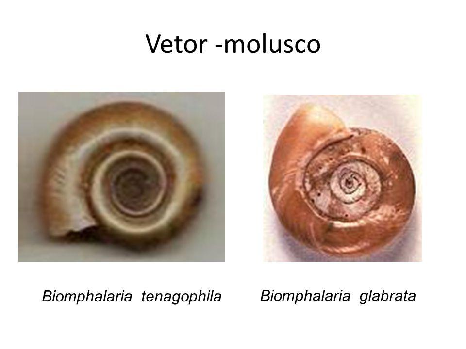 Vetor -molusco Biomphalaria tenagophila Biomphalaria glabrata