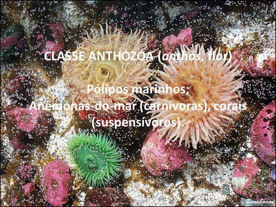 CLASSE ANTHOZOA (anthos, flor) Pólipos marinhos; Anêmonas-do-mar (carnívoras), corais (suspensívoros).
