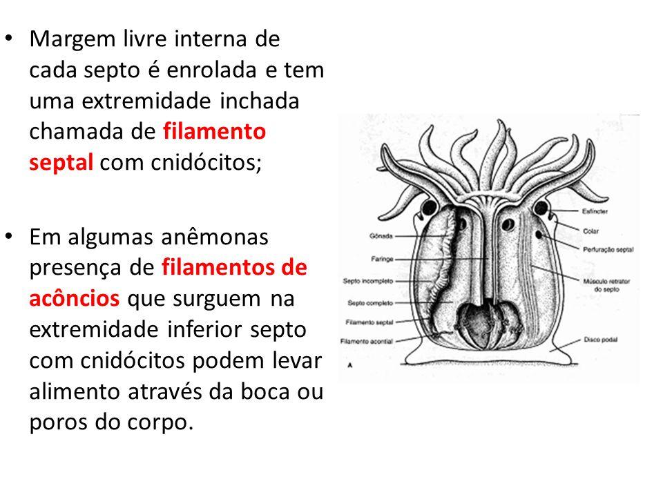 Margem livre interna de cada septo é enrolada e tem uma extremidade inchada chamada de filamento septal com cnidócitos;