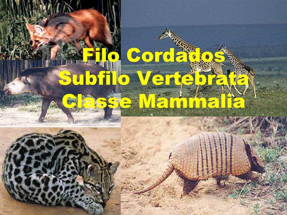 Filo Cordados Subfilo Vertebrata Classe Mammalia