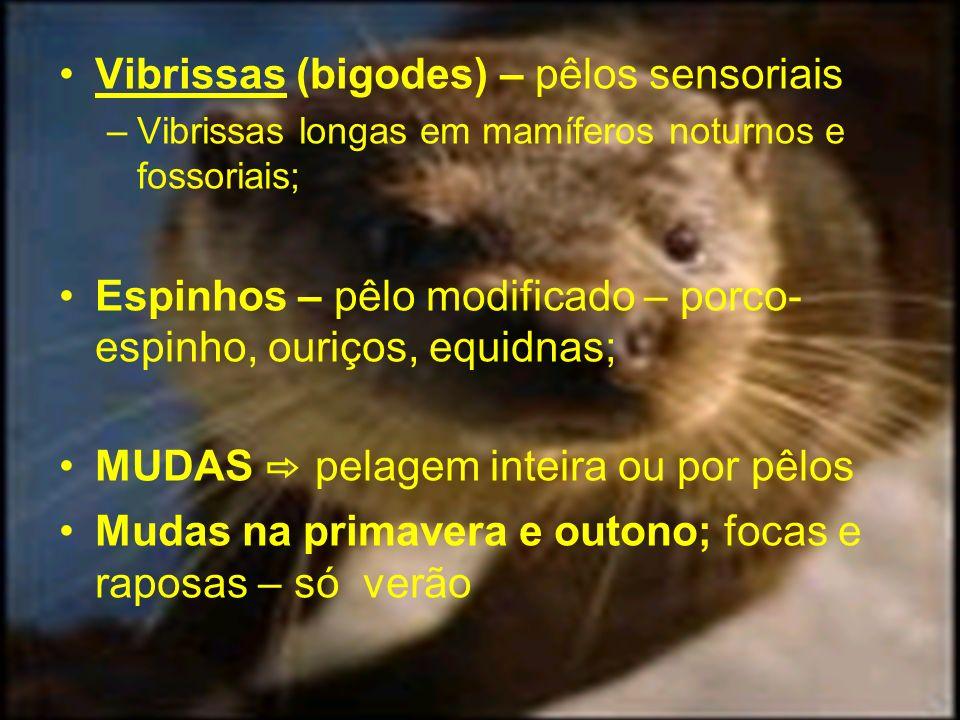 Vibrissas (bigodes) – pêlos sensoriais