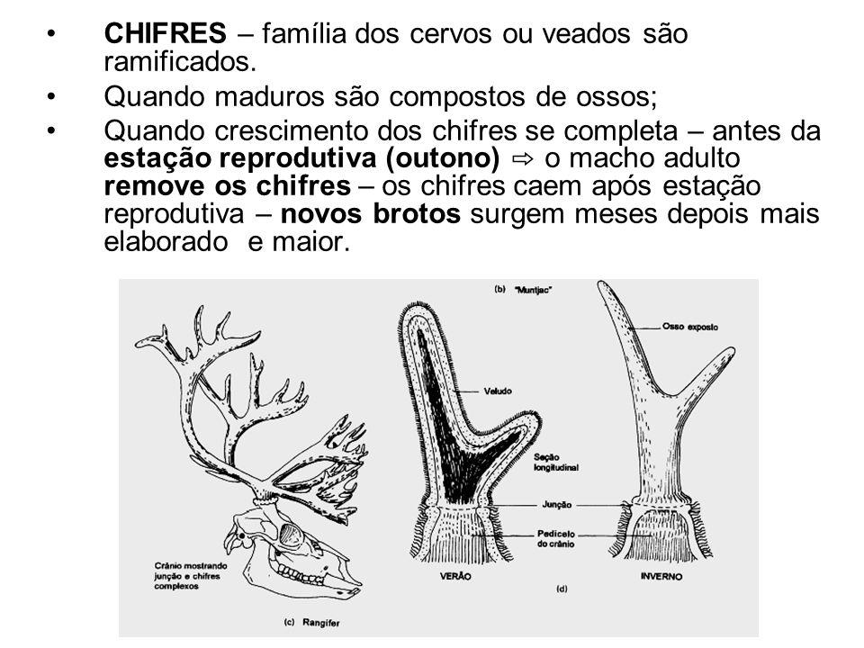 CHIFRES – família dos cervos ou veados são ramificados.
