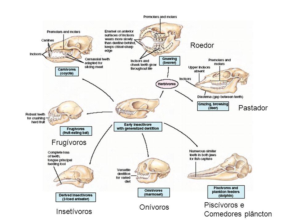 Roedor Pastador Frugívoros Piscívoros e Comedores plâncton Onívoros Insetívoros