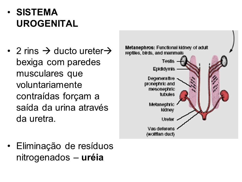 SISTEMA UROGENITAL 2 rins  ducto ureter bexiga com paredes musculares que voluntariamente contraídas forçam a saída da urina através da uretra.